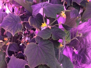 The light is actually red right now; it varies from green to blue to red depending on what is going on with the plants (blooming, producing fruit, resting). The yellow blooms are cucumbers. The pink blooms are string beans.