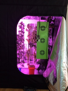A growtent in the sun room. It is fitted out with tomatoes, lettuce, and a lot of herbs. The plants you see are about six to eight weeks old.