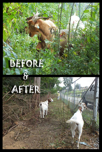 Goats at the cemetery. Source: WTOP.com
