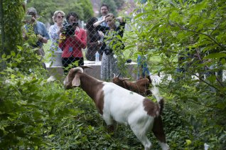 Goats clearing Congressional Cemetery, with fans at the fence. Source: Rollcall.com